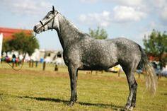 Coppermine Photo Gallery - SA Boerperd Free State Regional Championships 2011/7 Michmar Flerrie