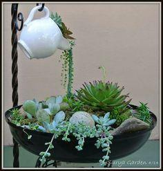 Garden suculentas