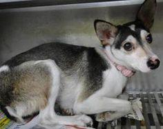 Ears: Rat Terrier, Dog; Ozone Park, NY