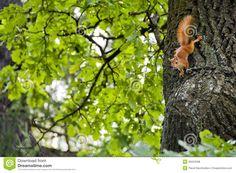 Afbeeldingsresultaat voor eekhoorn op tak van eikenboom
