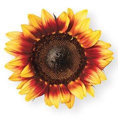 Our Favorite Sunflowers | 'Pro Cut Red/Lemon Bicolor' | SouthernLiving.com