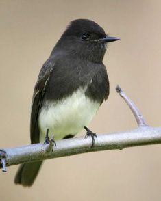 Black Phoebe~cutest little bird