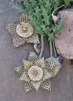Stapeliads.info - Stapeliads: Floral Wonders of Creation