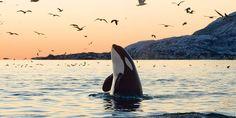 A pesar de ser unos de los depredadores más temibles del océano, la orca es un animal majestuoso.