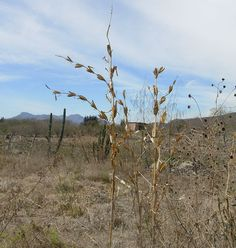 After it was first domesticated from the wild teosinte grass in southern Mexico, maize, or corn, took both a high road and later on a coastal low road as it moved into what is now the U.S. Southwes...