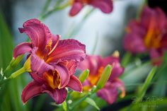Daylily ~ Summer 2016 Sarah K Davis Photography