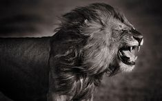 David Lloyd/Barcroft Media.  A lion embraces the wind.   Wild things: Stunning black and white pictures of animals in Africa.