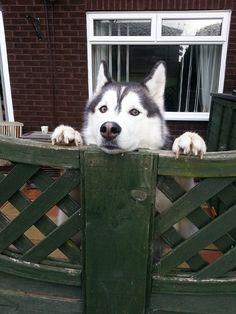Peek-a-Boo, I see you Siberian Husky!