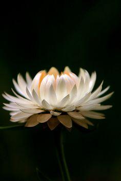 & White daisy on black background