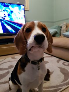 Are you interested in a Beagle? Well, the Beagle is one of the few popular dogs that will adapt much faster to any home. Art Beagle, Beagle Puppy, Dog Training Methods, Basic Dog Training, Training Dogs, Puppy Obedience Training, Positive Dog Training, Cute Beagles, Best Dog Breeds