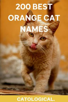 If you happen to be one of those lucky people, who own a ginger kitty, then you should definitely give it a worthy name. I've compiled a list of 200  cat names for orange cats, which are funny, unique, punny, inspired by pop culture, suitable for siblings… the list goes on and on. #cats #catnames #orangecats