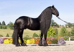 Friesian - stallion Teade 392