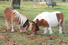 But as the tiny Shetland ponies stole the show at a star-studded carol concert on Sunday, ...
