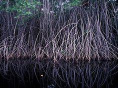 Rhizophora mangle aerial roots, S. Coast, Guatemala