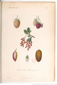 """""""Fruits en baies. Fruits à noyau"""", Le règne végétal, MM. A. Dupuis,... Fr. Gérard,... O. Réveil... [et al.]   1864-1869"""