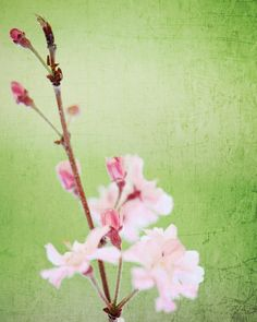 Nature Photograph Fine Art Photography cherry blossom