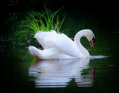 "coiour-my-world: "" Swan in the Grass by hosieo on Flickr. """