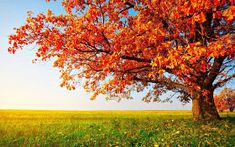 autumn tree on dry meadow over blue sky background Tree Wallpaper, Nature Wallpaper, Wallpaper Backgrounds, Scenic Wallpaper, Flower Wallpaper, Iphone Wallpaper, Autumn Art, Autumn Trees, Autumn Scenery
