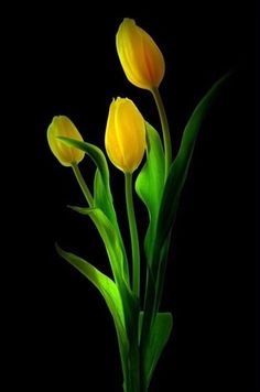 Beautiful Flowers Wallpapers, Beautiful Nature Wallpaper, Most Beautiful Flowers, Exotic Flowers, Yellow Tulips, Tulips Flowers, Pretty Flowers, Spring Flowers, Flor Magnolia
