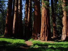 SEQUOIA NATIONAL PARK, California~these trees are magnificent~just huge!