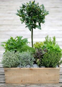 Love this little herb garden with bay tree in the center like a little topiary surrounded by little bushes of other herbs Herb Containers, Herbs, Plants, Edible Garden, Outdoor Gardens, Planting Herbs, Garden Inspiration, Container Gardening, Garden Containers