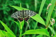 Dragon Swallowtail by Jaek Song    Dragon Swallowtail Butterfly    Jaek Song: Photos · Blog
