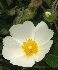 Sageleaf Rockrose Flower