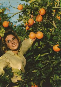 Picking the oranges - old postcard