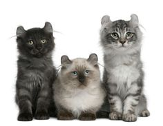 American Curl Cats And Kittens  http://cattime.com/cat-breeds/american-curl-cats