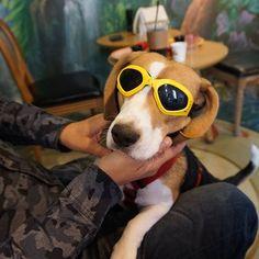 나들이 기분 좀 내볼까😎 #실상은 #안보여빨랑빼줘 #이게뭐야 ㅋㅋㅋㅋㅋㅋ  Wearing sunglasses for the first time! Let's drive, humans! . . . #망고 #비글 #이쁜망고 #비글스타그램 #멍스타그램 #인스타독 #견스타그램 #주말 #일상 #애견동반카페 #메르헨146 #mango #beagle #beaglestagram #beaglelover #beaglemania #beagleworld #justbeagles #dogsofinstagram #dogofday #dogstagram #daily #weekend #dogcafe #dog #犬 #ビーグル