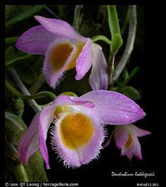 Dendrobium loddigessii. A species orchid (color)