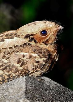 Indian nightjar (Caprimulgus asiaticus) is a very cute little bird that is most active at twilight. Learn more here!The Indian nightjar (Caprimulgus asiaticus) is a very cute little bird that is most active at twilight. Learn more here! Eagle Bird, Bald Eagle, Australian Parrots, Weird Birds, Colorful Birds, Exotic Birds, Nocturnal Birds, Long Eared Owl, Animals