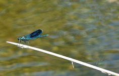 dragonfly in Gallocanta