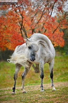 Photos of Arabian horses by Ekaterina Druz Equine Photography Dapple Grey Horses, Black Horses, Beautiful Arabian Horses, Majestic Horse, Andalusian Horse, Friesian Horse, Most Beautiful Animals, All The Pretty Horses, Horse Pictures
