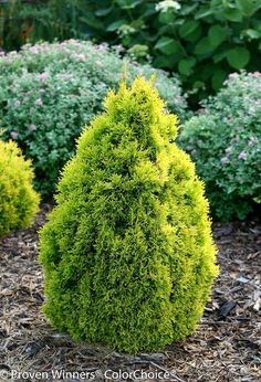 - Lebensbaum Golden Smaragd Thuja occidentalis Golden Smaragd R R