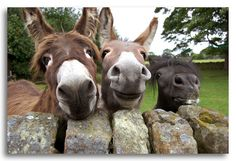 Cute and Funny Photos of Smiling Animals on We Heart It Smiling Animals, Cute Baby Animals, Animals And Pets, Funny Animals, Smiling Faces, Happy Faces, Farm Animals, Cute Donkey, Donkey Funny