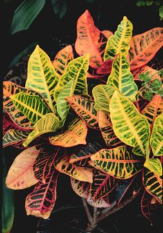 Crotons, so colourful!