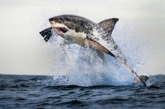 Great white shark flying mid-air off South African coast