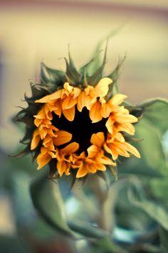 sunflower 1 by painor on DeviantArt