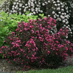 White Flower Farm is the premier American source for plants, shrubs, bulbs, and gardening supplies delivered from our nursery to your home. Full Sun Shrubs, Bushes And Shrubs, Flowering Bushes, Garden Shrubs, Landscaping Plants, Front Yard Landscaping, Garden Plants, Balcony Garden, Landscaping Ideas