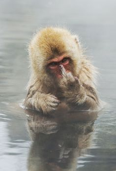 Japanese Macaque showing middle finger