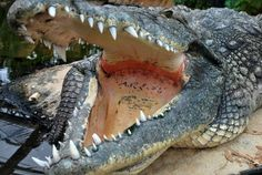 Crocodile Blijdorp (Rotterdam Zoo)