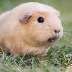 She's not afraid to tell it how it is, so always be honest with her! | The Newest Adorable Animal On Instagram Is A Guinea Pig Named Booboo