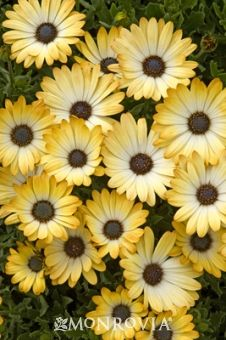 Monrovia's Sunny® Amanda African Daisy details and information. Learn more about Monrovia plants and best practices for best possible plant performance.