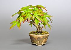 盆栽の販売・通販店|3613・Bonsai Shop