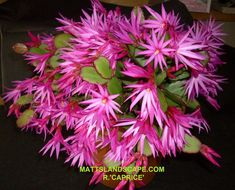 Rhipsalidopsis - Spring or Easter Cactus Multiplier Des Plantes Grasses, Easter Cactus, Pot Hanger, Christmas Cactus, Unusual Plants, Pink Stars, Large Plants, Seed Pods, Cacti And Succulents
