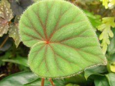 Begonia sericoneura var lindleyana, by Todd Slippey