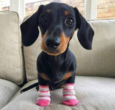 Cute Dachshund puppies are easily confused when dressed in hilarious footwear. Dachshund Breed, Dachshund Funny, Dachshund Love, Funny Dogs, Daschund, Dapple Dachshund, The Animals, Baby Animals, Funny Animals