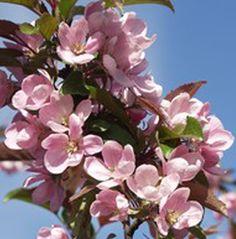 Malus 'Cowichan', prydnadsäppel. FinE-sort. Ljusrosa blommor, grönröda blad. Höjd: 3-4 m. Bild: MTT.