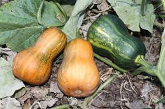 Squash Seeds Honeynut Squash Honey nut 15 thru 250 Seeds Winter Squash